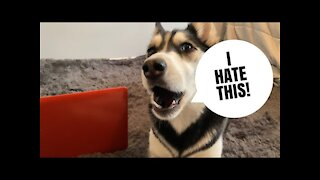 HUSKY works from home! | She was yelling!