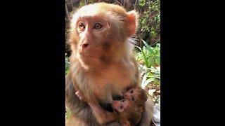 Very Funny Monkey Using Smart Phone, under twine breath feeding.