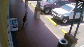 Kenguru prøver å komme seg inn en mobiltelefonbutikk