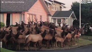 Un troupeau d'orignaux envahit une ville d'Oregon
