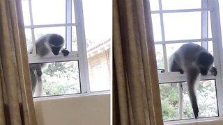 Curious George: Adventurous Monkey Tries To Break Into Woman's Bedroom