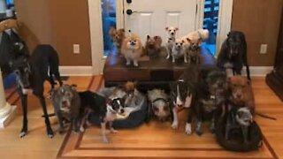 Portrait de famille avec 17 chiens!