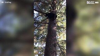 Orso sale sull'albero e danza