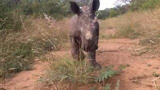 Næsehornsunge elsker kameraet!