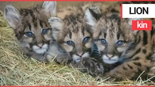 Mountain lion cubs are lucky to be alive after they were rescued after their mum was killed