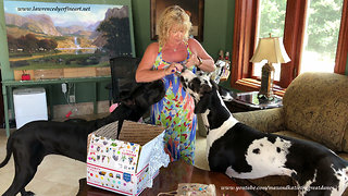 Excited Great Danes Can't Wait To Open Birthday Gifts