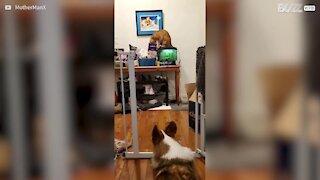 Ce chat commet un casse pour récupérer des croquettes