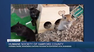 Gerbils looking for a home at the Humane Society of Harford County