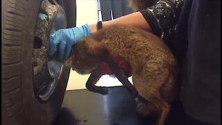 Fox rescued after getting stuck inside tire