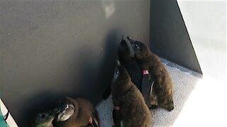 Adorable penguin chicks chase light reflection