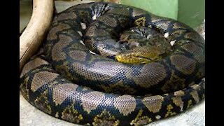 Giant Anaconda World's longest snake found in Amazon River