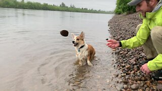 "Corgi loves splashing and ""talking"" to the river"