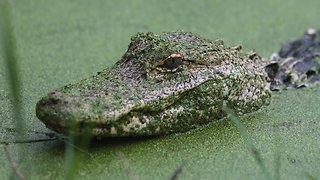 Alligators Invading A Florida Neighborhood?