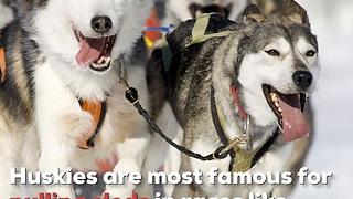 Siberian Husky Dogs Are Wild!