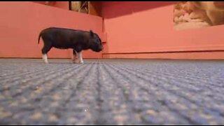 Mini pigs bounce around the house