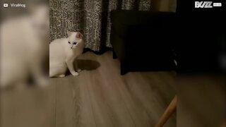Ninja-kattunge skremmer en voksen katt