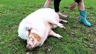 Rescued pig rolls over on command for belly rubs
