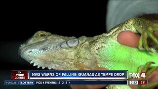 NWS warns of falling iguanas as temps drop