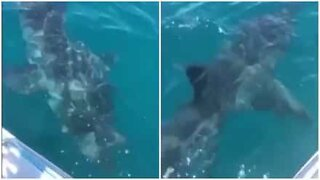 Huge white shark circles boat in Australia