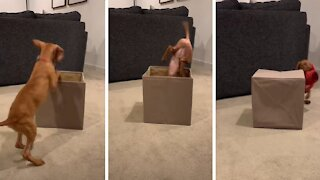 Vizsla puppy jumps into box and totally wipes out