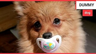 This cute Pomeranian dog loves sucking on a dummy