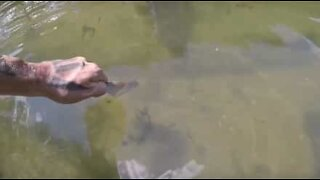 Giant fish grabs food from a man's hand