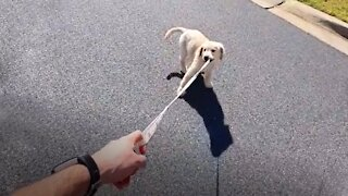 Golden Retriever puppy tries to take her owner for a walk