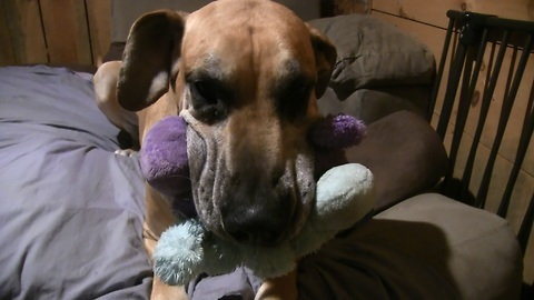 Great Dane would rather Play with Stuffed Animals than Eat!