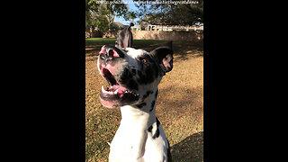 Having Fun Training a Happy Great Dane Puppy