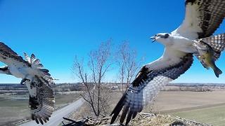Nest Camera Captures Birds Of Prey In Ferocious Battle For Fish