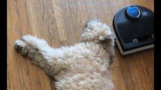 Robot Vacuum Interferes With Dog's Nap Accomplishes Nothing