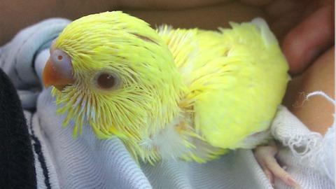 Parakeet thoroughly enjoys head scratches