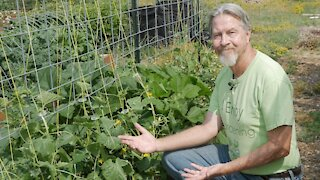 How to Grow More Cucumbers