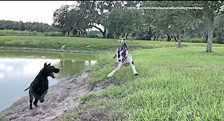 Athletic Great Danes Love to Race Through Water and Dirt