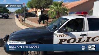 Tucson police help capture roaming bull