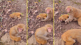 Monkeys protect children from humans
