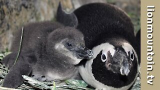 African Penguins and their young chicks.