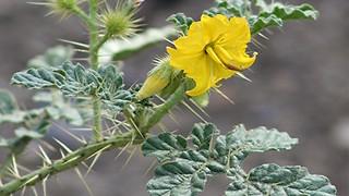 Buffalo bur! This Arizona plant can kill you and your pets - ABC15 Digital