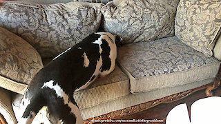 Great Dane searches sofa for his new toys