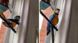 Naughty parrot gets caught climbing on the curtains