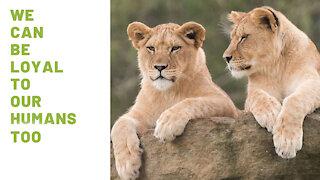 Lioness duo joyfully reunites with their former caretaker