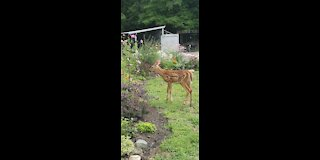 Mother Deer out with her Twin Male Fawns