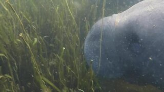 Sharp rise in Florida manatee deaths has state, federal investigators probing