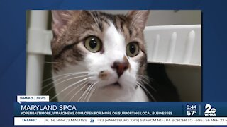 Mowgli the cat is up for adoption at the Maryland SPCA