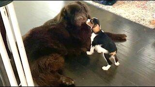 Cavalier Spaniel loves his Newfoundland best friend