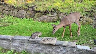 Sweet deer really wants to befriend kitty cat