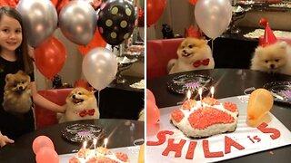 Adorable Pomeranian Celebrates Fifth Birthday