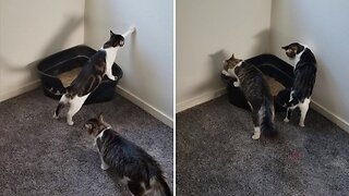 PAIR OF CATS COMPLETELY CONFUSED BY LITTER TRAY