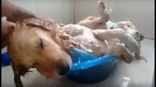 Dog naps during relaxing bath