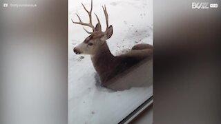 Un cerf se repose dans la neige au Canada